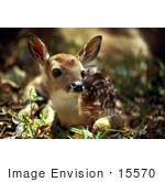 #15570 Picture of a White-tailed Deer Fawn at Swan River National Wildlife Refuge by JVPD