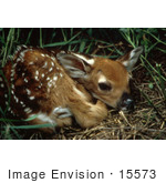 #15573 Picture Of A White-Tailed Deer Fawn Curled Up
