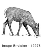 #15576 Picture Of A Grazing White-Tailed Deer