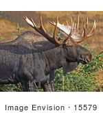 #15579 Picture Of A Bull Moose (Alces Alces) Grazing