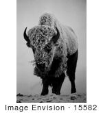 #15582 Picture Of A Bison In Fog And Snow