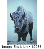 #15586 Picture Of An American Bison In Fog And Snow