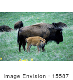 #15587 Picture Of An Adult And Calf Buffalo