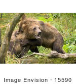#15590 Picture Of Brown Bears (Ursus Arctos) Playing
