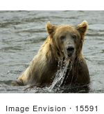 #15591 Picture Of A Brown Bear (Ursus Arctos) Playing And Fishing In Water