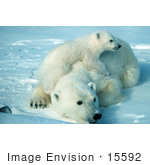 #15592 Picture Of A Polar Bear And Cub