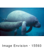 #15593 Picture Of A West Indian Manatee Calf Nursing Off Of A Cow (Trichechus Manatus)