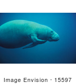 #15597 Picture Of A Scratching West Indian Manatee (Trichechus Manatus)