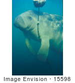 #15598 Picture Of A West Indian Manatee (Trichechus Manatus) Playing With A Rope