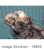 #15603 Picture Of Sea Otters Kalan (Enhydra Lutris) Captured