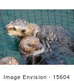 #15604 Picture Of Sea Otters Kalan (Enhydra Lutris)