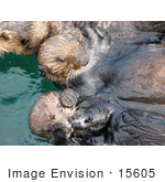 #15605 Picture Of Sea Otters In Capture Pens
