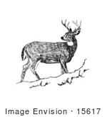 #15617 Picture Of White-Tailed Deer Looking Back