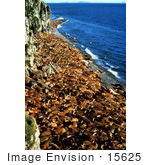 #15625 Picture Of A Walrus (Odobenus Rosmarus) Crowded Beach