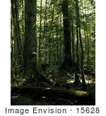 #15628 Picture Of A Fallen And Standing Trees In A Forest In The Great Dismal Swamp