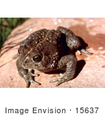 #15637 Picture Of A Woodhouses Toad (Bufo Woodhousii)