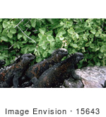 #15643 Picture Of Three Marine Iguanas (Amblyrhynchus Cristatus)