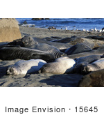 #15645 Picture Of Elephant Seals Sunning On Shore