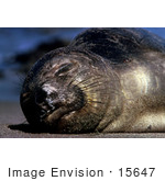 #15647 Picture Of An Elephant Seal (Mirounga Angustirostris) Sunning