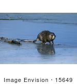 #15649 Picture of a Common Muskrat, Musquash, Swamp Bunny (Ondatra zibethicus) by JVPD