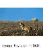 #15651 Picture Of A Black-Tailed Prairie Dog (Cynomys Ludovicianus)