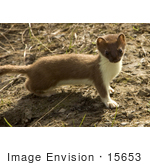 #15653 Picture Of A Short-Tailed Weasel (Mustela Erminea)