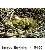 #15655 Picture Of Canada Goose Gosling Chicks In A Nest With Broken Eggs