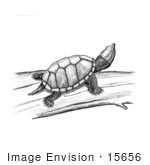 #15656 Picture Of A Stinkpot Turtle (Sternotherus)