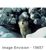 #15657 Picture Of A Gray Wolf (Canis Lupus) Coming Out From Under A Tree