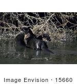 #15660 Picture Of Two River Otters (Lontra Canadensis)