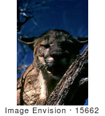 #15662 Picture Of A Florida Panther (Puma Concolor) In A Tree