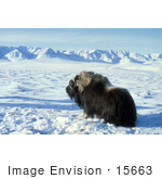 #15663 Picture Of A Musk Ox Muskox (Ovibos Moschatus)