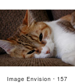 #157 Photo of a Tired Calico Cat by Jamie Voetsch