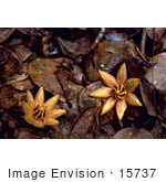 #15737 Picture of West Indian Mahogany Seedlings (Swietenia mahagoni) by JVPD