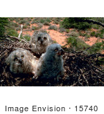 #15740 Picture Of Great Horned Owl Chicks In A Nest