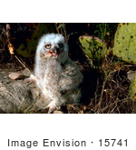 #15741 Picture Of A Great Horned Owl Chick By A Cactus