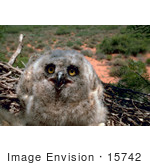 #15742 Picture Of A Great Horned Owl Chick At 3 Weeks Of Age