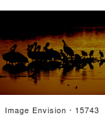 #15743 Picture Of Pelicans Wading At Sunrise J N Ding Darling National Wildlife Refuge