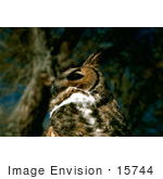 #15744 Picture Of A Great Horned Owl (Bubo Virginianus)
