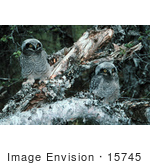 #15745 Picture Of Northern Hawk Owl Chicks (Surnia Ulula)
