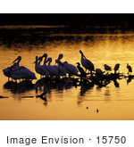 #15750 Picture Of Pelicans Wading At Sunrise J N Ding Darling National Wildlife Refuge
