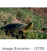 #15755 Picture Of A Western Painted Turtle (Chrysemys Picta)