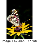 #15758 Picture Of A Painted Lady Butterfly (Vanessa Cardui) On A Yellow Flower