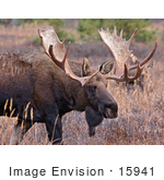 #15941 Picture Of A Moose In Tall Foliage Alaska