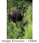 #15944 Picture Of A Lone Moose In Brush