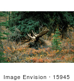 #15945 Picture Of A Resting Bull Moose (Alces Alces)