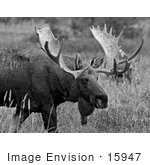 #15947 Picture Of A Moose In Tall Foliage Alaska