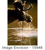 #15948 Picture Of A Moose With Water Dripping Off Its Face