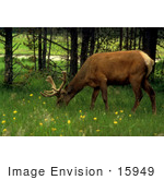 #15949 Picture Of An Elk Moose Grazing On Green Grasses