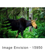 #15950 Picture Of A Moose In A Forest